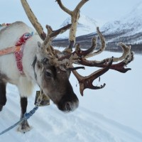 rendier in Noors Lapland